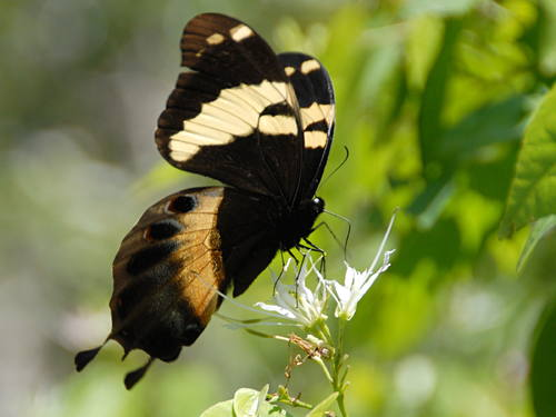 Homerus Swallowtail - V.Turland.site 1356 0022-500-375-20150615100245
